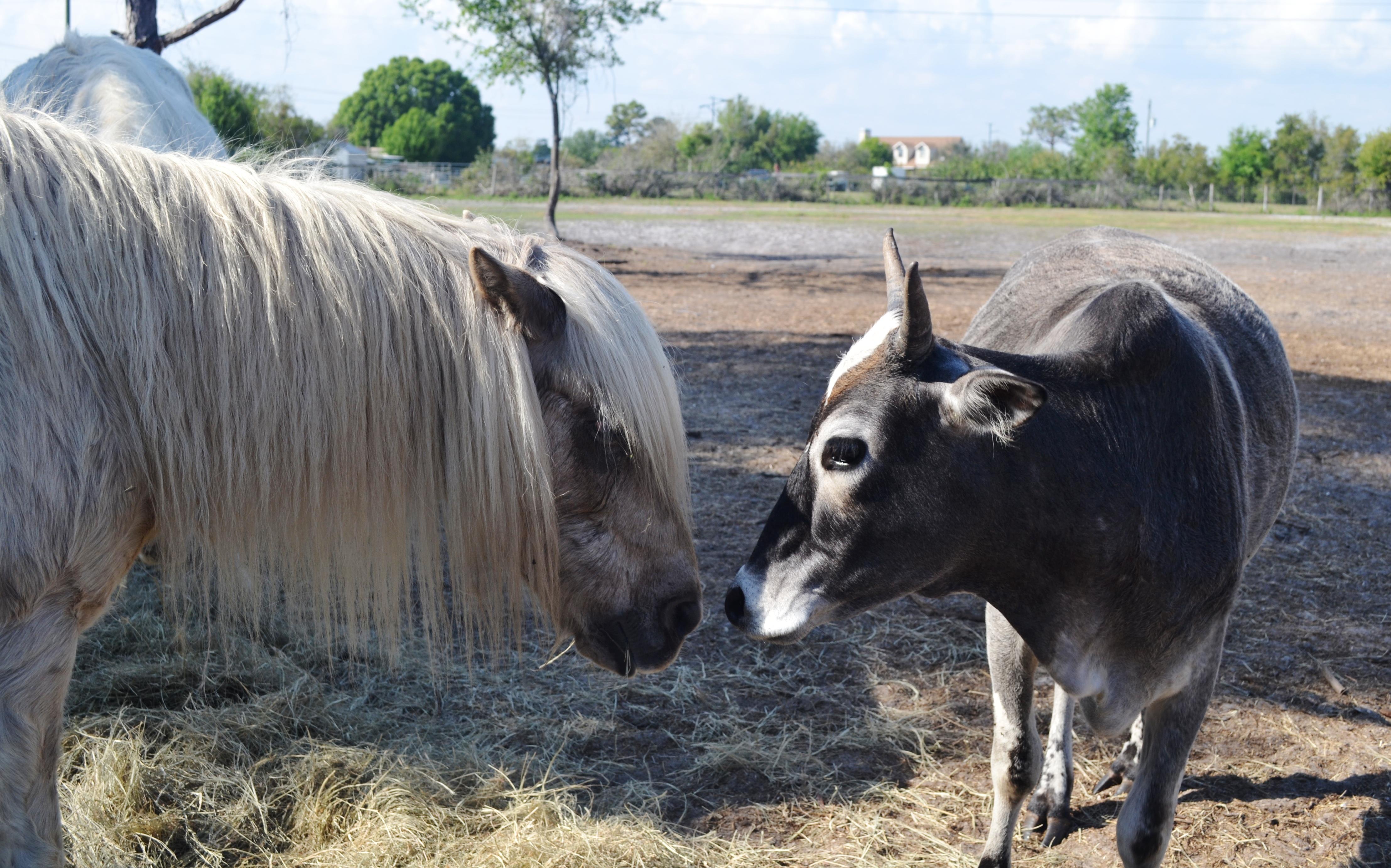 Moo and pony