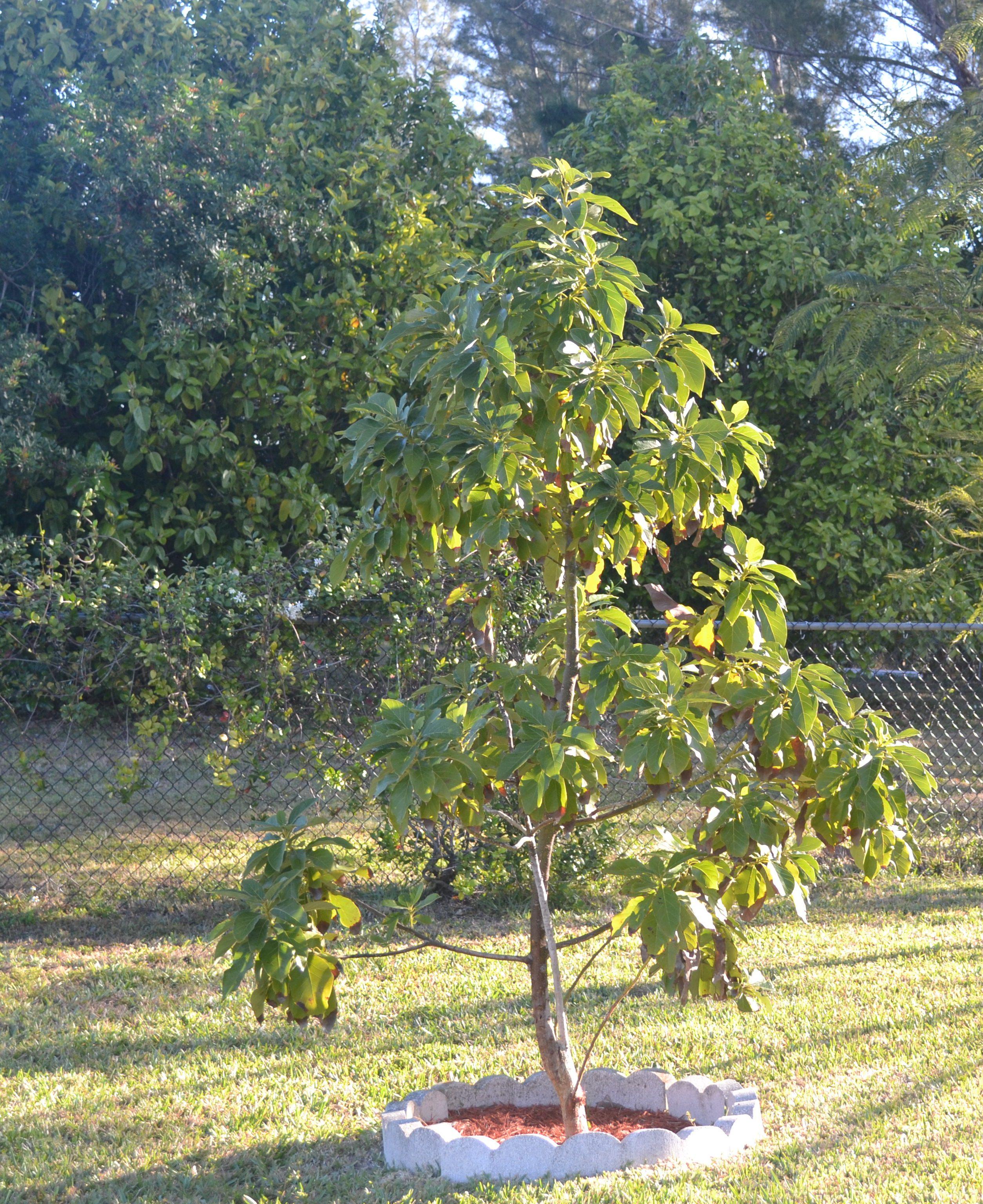 av tree  March 2013