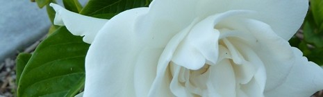 featured image gardenia