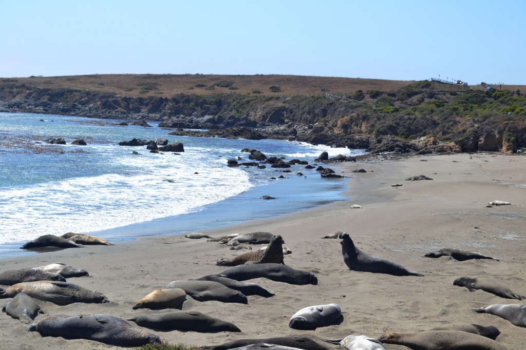 Elephant seals beach2