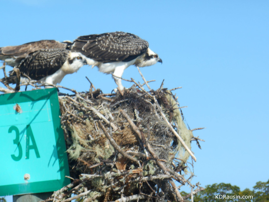 resized osprey photo